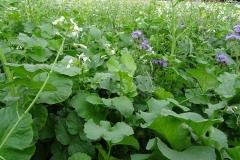 bodem-verrijken-met-groenbemesting