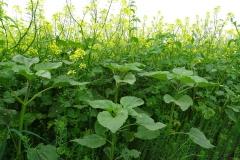 groenbemestermengsel-van-zonnebloemen-gele-mosterd-en-japanse-haver