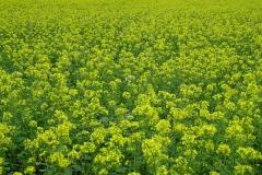 groenbemesters-voor-een-betere-bodemstructuur