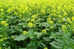 groenbemesters-voor-meer-bodemleven