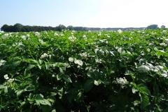 agria-voor-particulier-als-voor-verkoop-aan-kleinhandel