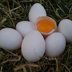 eieren van vael