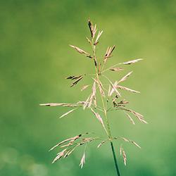 graszaden van vael